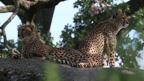 salón en una roca, gatos hermosos del jubatus del Acinonyx de 2 guepardos en el cautiverio en el parque zoológico, llamada de cui metrajes