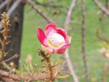 sal Дерево соли Соль Индии, конца вверх по красивому цветку cannonball Стоковое Фото