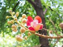sal Дерево соли Соль Индии, конца вверх по красивому цветку cannonball Стоковое Изображение