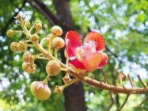 sal Дерево соли Соль Индии, конца вверх по красивому цветку cannonball Стоковое фото RF