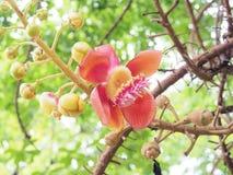 sal Дерево соли Соль Индии, конца вверх по красивому цветку cannonball Стоковая Фотография
