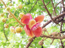 sal Дерево соли Соль Индии, конца вверх по красивому цветку cannonball Стоковое Изображение RF
