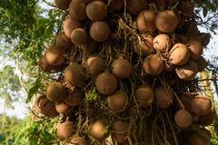 Sal dell'India, guianensis di Couroupita più di 40 anni Il sal T Immagini Stock