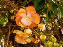 Sal flower or shal  flower or cannon ball flower. Close up of Sal flower or shal  flower or cannon ball flower Stock Photos