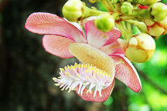 Sal flowers. Are flowers that exist, Thailand Royalty Free Stock Photo