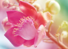 Sal of India flower background lighting Stock Image