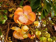 Sal kwiat, shal kwiat lub działo piłki kwiat Zdjęcia Stock