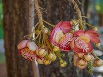 Sal kwiaty, cannonball drzewo zdjęcie stock
