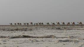 Sal que lleva de la caravana de los camellos en el desierto del ` s Danakil de África, Etiopía almacen de metraje de vídeo