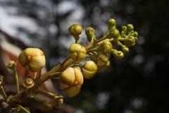 Sal tree Stock Image