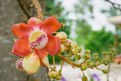 Sal Tree, Couroupita guianensis ,cannon Ball Tree Royalty Free Stock Photo
