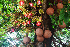 Sal trees cannonball tree Royalty Free Stock Image