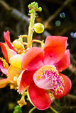 Sala, λουλούδι συμβόλων του βουδισμού Στοκ φωτογραφίες με δικαίωμα ελεύθερης χρήσης
