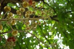 Sala-Blume auf Kanonenkugelbaum stockfoto