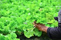 Sala de despiece del hombre en la granja de las verduras Foto de archivo
