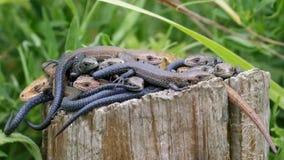 Sala de estar dos lagartos Fotografia de Stock Royalty Free