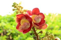 Sala flora or Shorea robusta flower. On Cannonball Tree Stock Photo