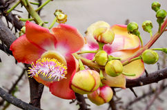 Sala flora or Shorea robusta flower on Cannonball Tree Stock Photo