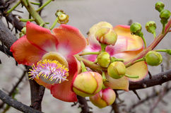 Sala flora or Shorea robusta flower on Cannonball Tree Royalty Free Stock Image