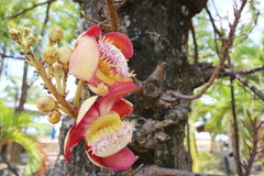 SALA. Flower in Ang Thong Thailand Royalty Free Stock Images