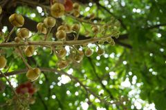 Sala flower on cannon ball tree. In vietnam, flower of buddha Stock Photo