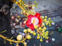 Sala flower on cannon ball tree. In Thai temple Stock Photography