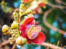 Sala flower on cannon ball tree. In Thai temple Royalty Free Stock Images