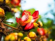 Sala flower on cannon ball tree. In Thai temple Stock Photos