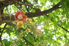 Sala flower on cannon ball tree. In vietnam, flower of buddha Royalty Free Stock Photos