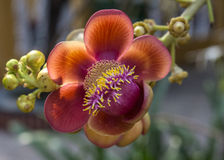 Sala Flower crece en un árbol. Imagen de archivo