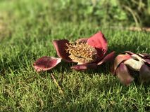 Sala flower in garden. Sala flowers in a fresh morning in my garden, under the beautiful sunshine Stock Image