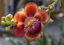 Sala Flower wächst auf einem Baum. Stockbild
