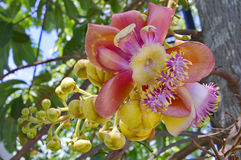 Sala tree. Royalty Free Stock Photos
