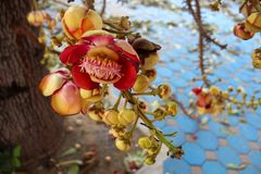 Sala Tree Fruit. This tree is located in Wat Muang in Ang Thong, Thailand. These fruits flower a couple times a year. They are red with yellow buds and come on a Stock Photo