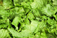 Salad. A few of green salads, head lettuce Royalty Free Stock Image