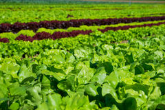 Salad. Field of fresh and tasty salad/lettuce plantation Royalty Free Stock Images