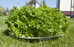 Salad. Large bunch of fresh green leaf lettuce Royalty Free Stock Photo