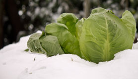 The salad. Salad out of the snow Royalty Free Stock Images