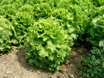 Salad. Springtame vegetables garden with salad market production Stock Photo