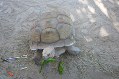Salad, Anyone?. Large Tortoise eating lettuce and carrots in the Florida Keys royalty free stock images