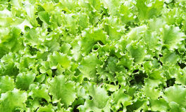Salad  background. An on grown  close-up  salad background Royalty Free Stock Photo