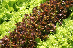 Salad on a bed Royalty Free Stock Photo