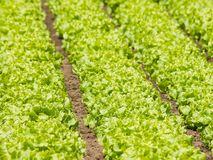 Salad beds Royalty Free Stock Images