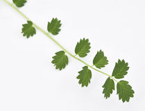 Salad Burnet Fresh. A close up of Salad Burnet fresh plant and leaves Stock Image