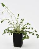 Salad Burnet Fresh Plant Stock Photo