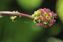 Salad Burnet Royalty Free Stock Images