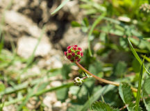 Salad Burnet Wild Flower on Downland Royalty Free Stock Images