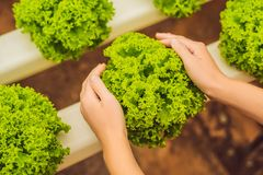 Salad in caring hands. Hydroponic vegetables salad farm. Hydropo. Nics method of growing plants vegetables salad farm, in water, without soil. Hydroponic Stock Photo