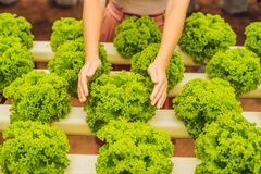 Salad in caring hands. Hydroponic vegetables salad farm. Hydropo. Nics method of growing plants vegetables salad farm, in water, without soil. Hydroponic royalty free stock photography