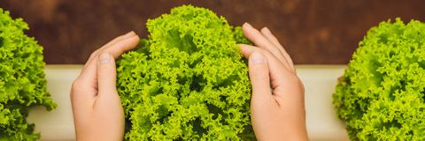 Salad in caring hands. Hydroponic vegetables salad farm. Hydroponics method of growing plants vegetables salad farm, in water, wit. Hout soil. Hydroponic stock image